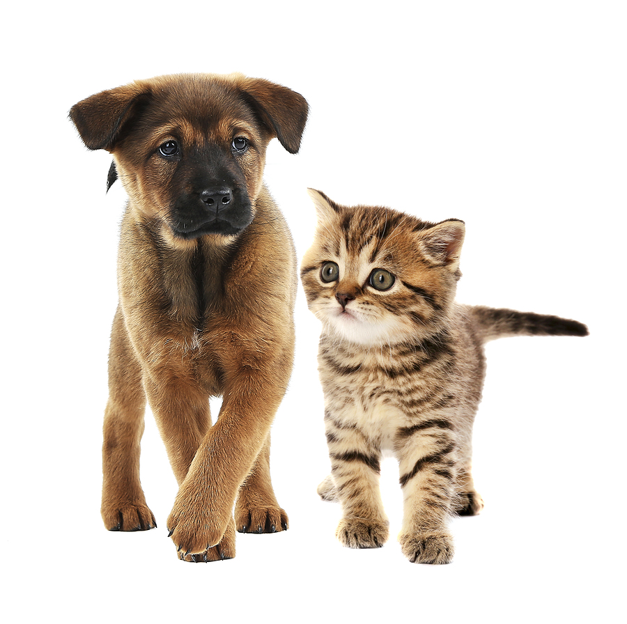 Cute little puppy and adorable tabby kitten together on white background.